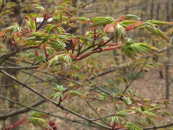 桜の開花よりも紅葉の芽吹きを