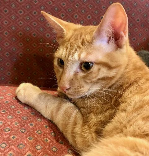 チャトラ・猫
