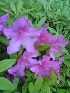 花壇のツツジ