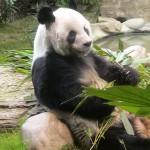 香港島のパンダ