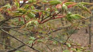 紅葉の芽吹き