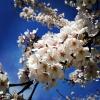 満開の桜、在原業平の心に共感する