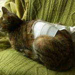 麦猫の避妊手術