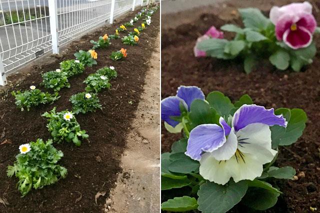 ビオラ、パンジーの花壇