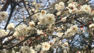 松戸・里見公園の梅