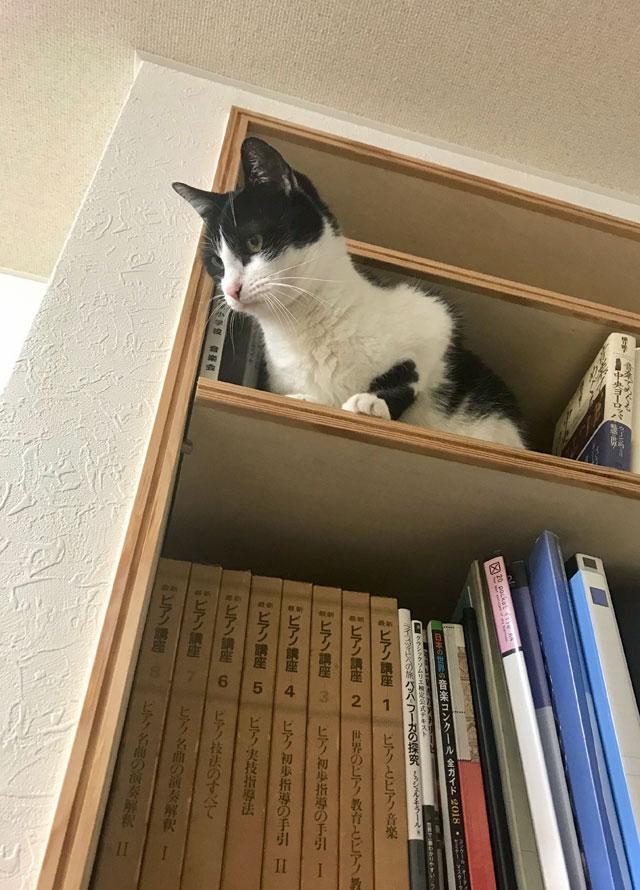 本棚から下りられない鍵盤ねこ