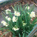 真冬の花、スイセン